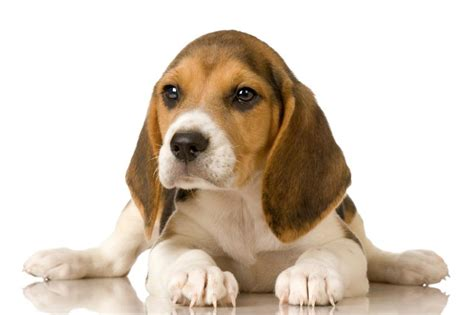 pics of puppys beagle puppy pictures slideshow