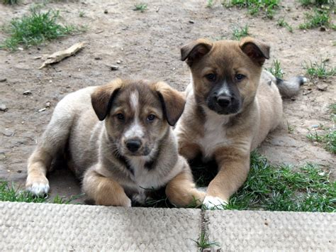 collie shepherd mix puppies for sale collie and shepherd crosses puppies for sale dogs for sale in ontario canada