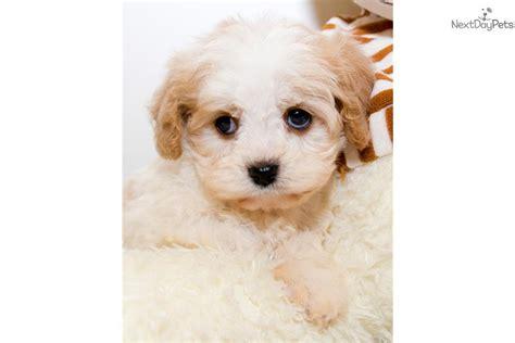 cavapoo puppies for sale in ohio cavapoo puppy for sale near columbus ohio ec51a63e 4dc1