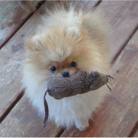 pomeranian puppies for sale calgary firesprite pomeranians pomeranian breeder in calgary alberta