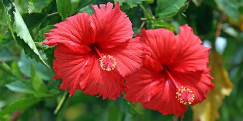 yuk manfaatkan bunga sepatu  kecantikan