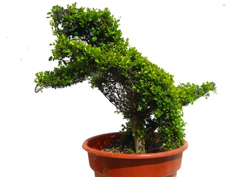 boxwood topiary dinosaur 24 quot h boxwood topiary