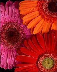 what color are daisies 17 best ideas about gerber daisies on gerbera