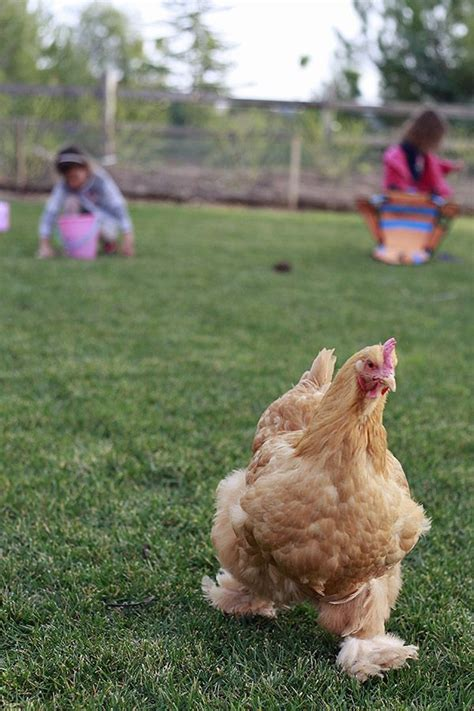 Raising Backyard Chickens For Eggs 17 Best Images About Chickens Coop And Chickens On Frizzle Chickens Feathers And