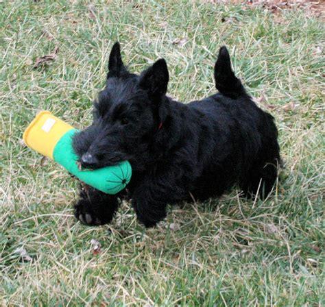 scottish terrier puppies rosslyn scottish terriers puppies