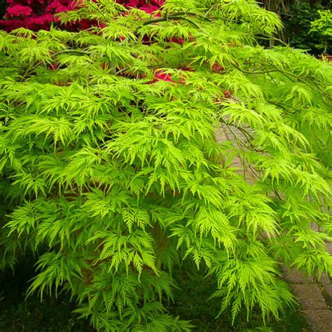 japanese maple green weeping filigree 12 quot pot hello