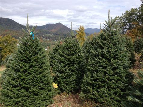 109 best images about plantations bl christmas trees on
