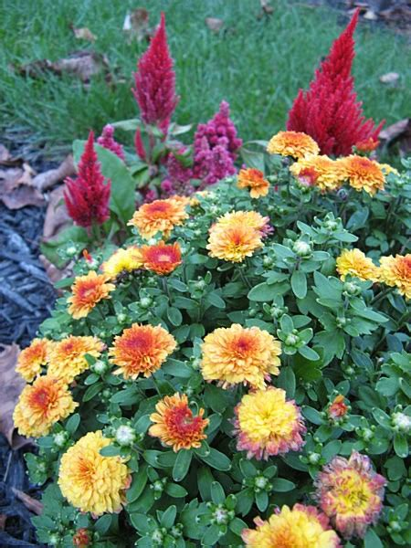 1000 ideas about hardy mums on pinterest fall potted plants chrysanthemums and perennials