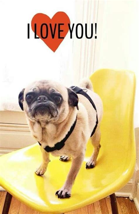 pug says i you puggie says i you lovin me some pugs