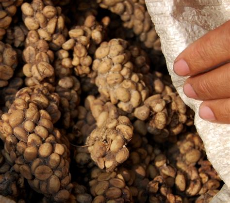 Luwak Coffee authenticating the world s most expensive coffee on