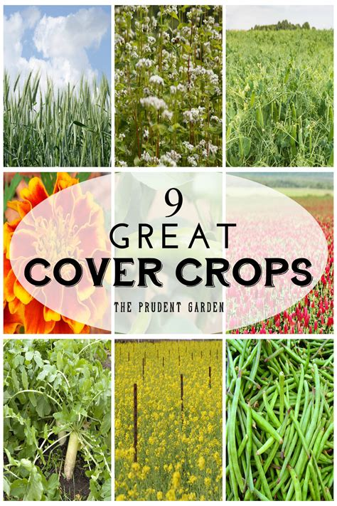winter cover crop for vegetable garden 9 great cover crops to rejuvenate your garden