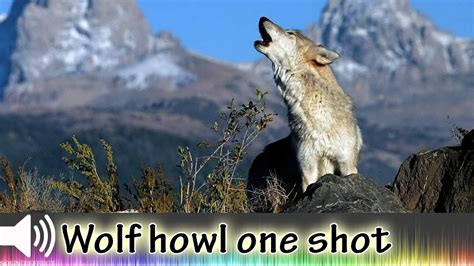 howling sounds sound effect wolf howl