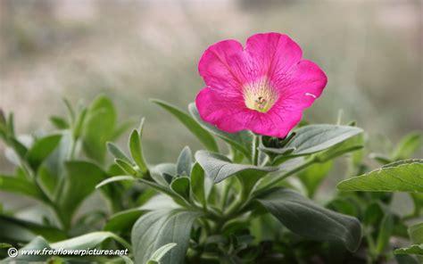 petunia pictures petunia flower pictures