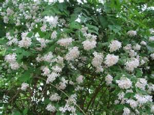 Flowers In Huntsville Al - beautybush a common name for large growing deciduous shrub