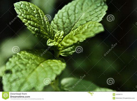 fresh planted herbs gastronomy pinterest mint stock image image 32939711