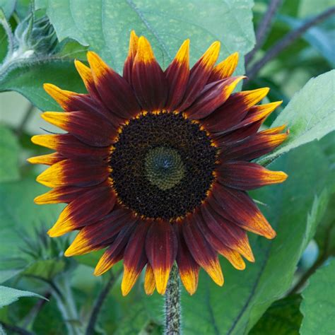 colors of sunflowers sunflower color varieties hgtv