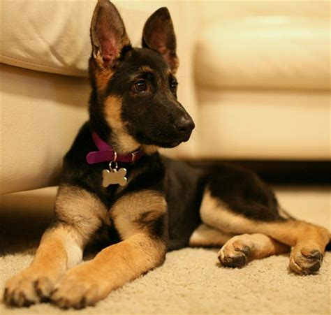 what to feed german shepherd puppy how to choose the proper german shepherd food dogsarena