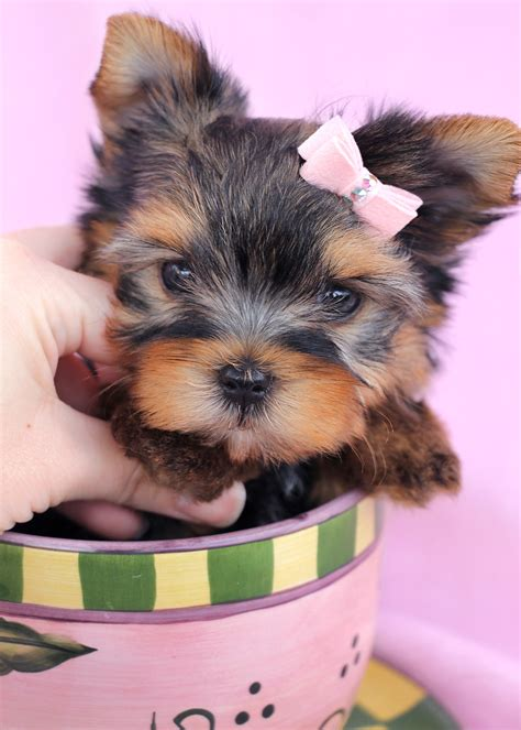 teacup yorkie boutique cresteds for sale in florida breeds picture