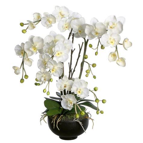 orchidea vaso trasparente orchidee phalaenopsis
