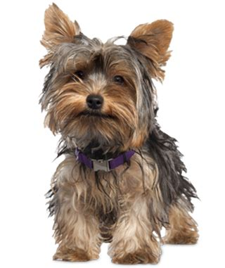 yorkie rear end with long hair pictures free giveaway moringa silky coat dog grooming products