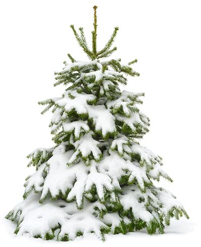 snowy tree 10 ways to protect your trees from and snow