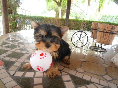 perros yorkie en venta perros venta venta