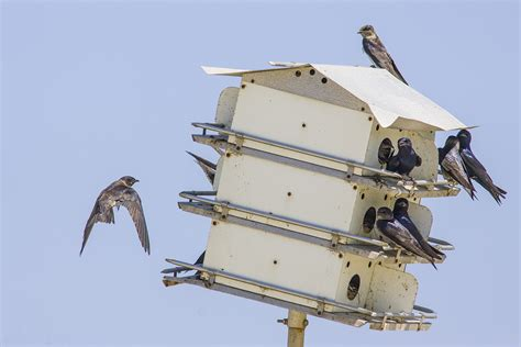 purple martins are scouting for homes houston chronicle
