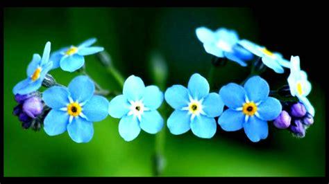 imagenes flores no me olvides tu jard 237 n flor quot no me olvides quot myosotis youtube