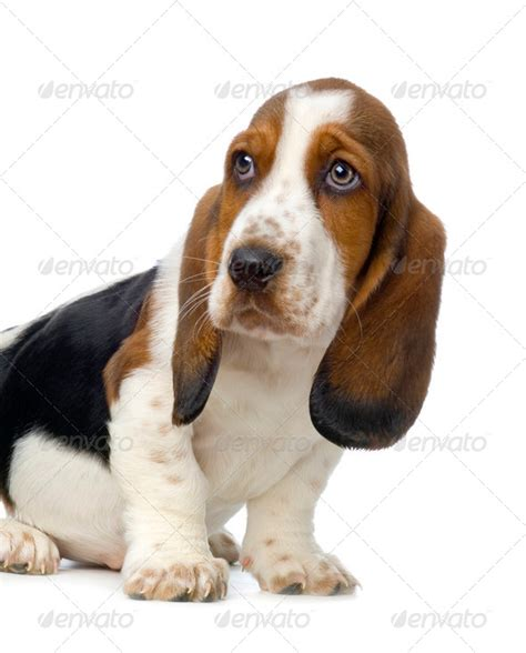 hush puppys basset hound puppy hush puppies stock photo by lifeonwhite photodune