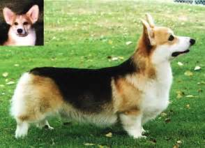 tri color corgi gallery black headed tri color corgi
