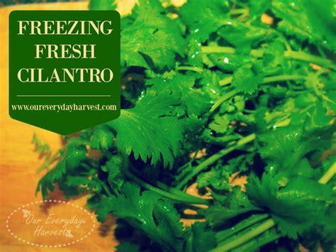 freezing fresh cilantro our everyday harvest sharing