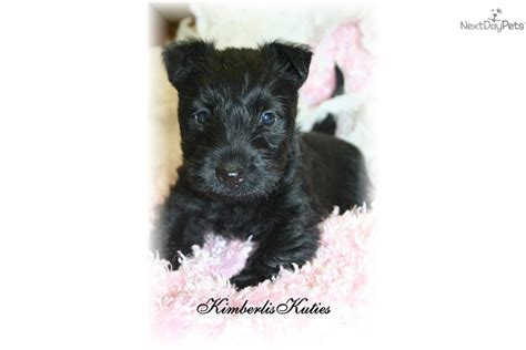 akc scottish terrier puppies for sale meet black scottie a scottish terrier puppy for sale for 850 akc