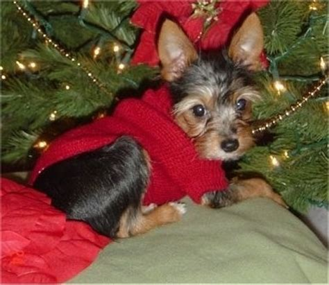 fox terrier yorkie mix yorkie fox terrier mix for sale dogs our friends photo