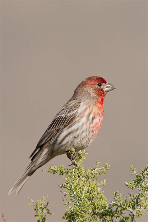 house finch arizona house finch carpodacus mexicanus
