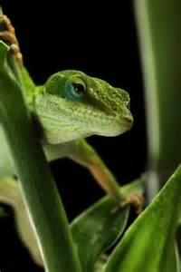76 best images about green anole on pinterest common