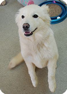 samoyed puppies ohio all sams all the time on 257 pins
