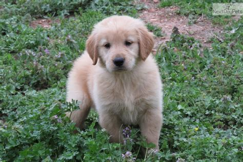 golden retriever oklahoma golden retriever puppy for sale near tulsa oklahoma a784ed7b 2db1