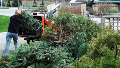 christmas tree chipping for a cause at ubc botanical garden