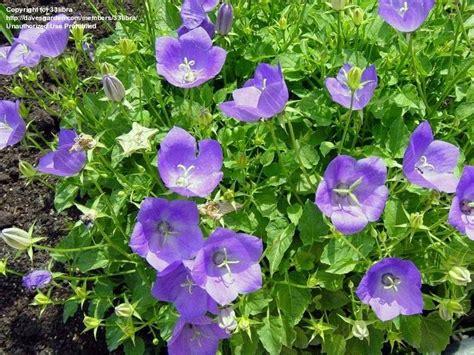 plantfiles pictures carpathian harebell carpathian bellflower tussock bellflower blue clips