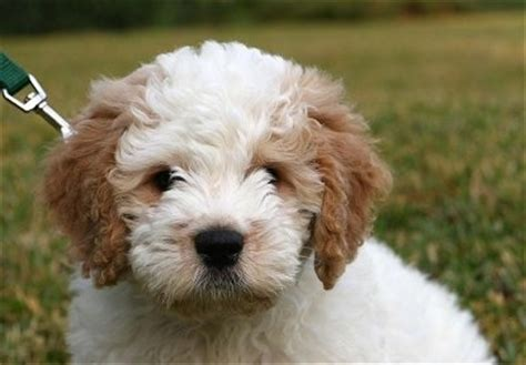 goldendoodle central pa miniature goldendoodle puppies illinois www