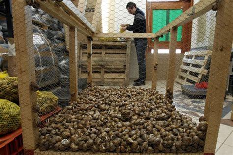 allevare lumache in casa elicicoltura come fare un allevamento di lumache