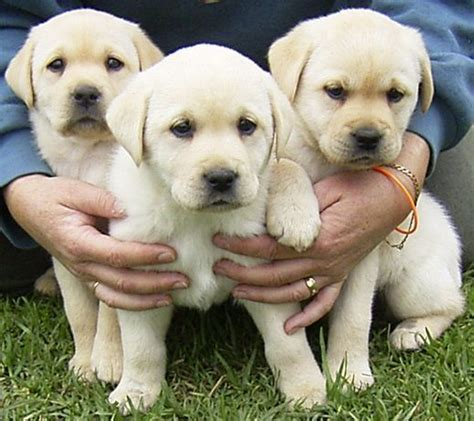 pictures of labrador puppies dogs images labrador puppies wallpaper and background photos 1605498