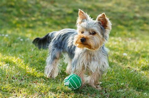 are yorkies yappy top 10 yappy breeds