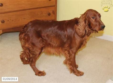 irish setter dog for sale in india 9 best irish setter images on pinterest irish setter