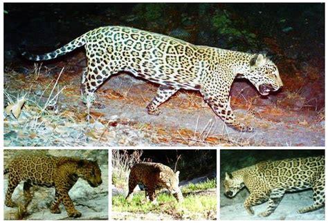 arizona jaguar sporting classics daily