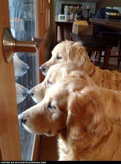 Golden Retriever Hair Shedding by Gorgeous Golden Retrievers A Gaggle Of Goldens