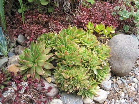 Succulent Rock Garden 17 Best Images About California Plant Design On Gardens Succulent Rock