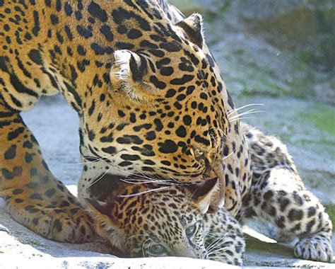 facts about jaguar 10 interesting facts about the jaguar in fact collaborative