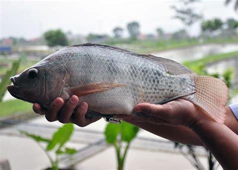 Benih Ikan Nila Per Liter sedia benih nila sultana bebeja