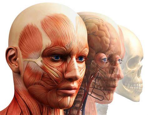 de la cabeza a una herramienta de an 225 lisis matem 225 tico desvela la estructura modular de la cabeza humana rtve es